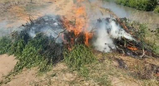 В Гудермесе сотрудники МВД по ЧР уничтожили 568 кустов конопли