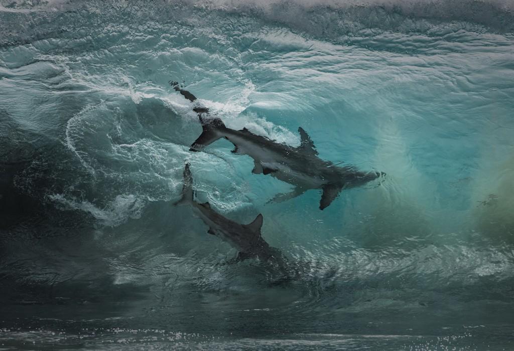 Ученые выяснили, как акулы реагируют на ураганы