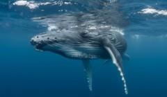 Американец выжил после попадания в пасть горбатого кита