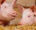 Почему мусульмане не едят свинину. Мнение врачей