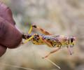 В Африке наблюдается крупнейшее за 25 лет нашествие саранчи. Какие будут последствия?
