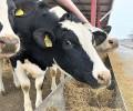 В ЧР численность поголовья крупного рогатого скота сократилась на 7,2 %