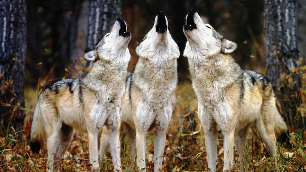 Wolves-3
